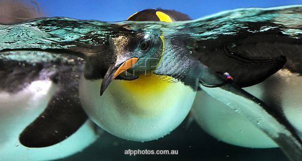 A Gentoo penguin swims in a pool at the Melbourne Aquarium. AFP PHOTO / WILLIAM WEST