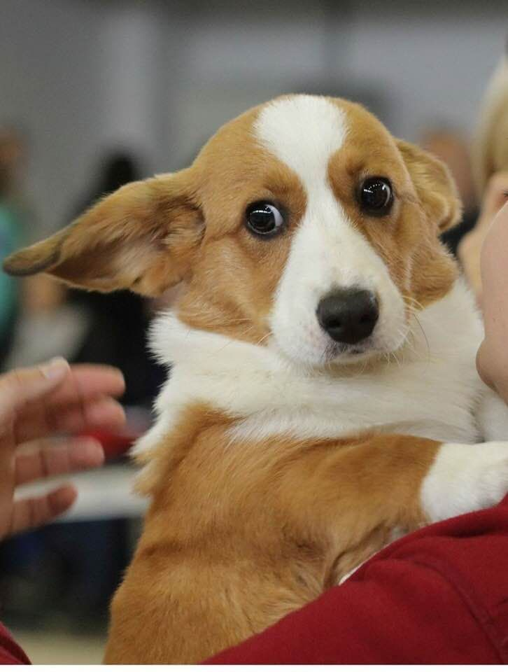 Awww Look At That Corgi Face Corgi Dog Welsh Corgi Puppies Corgi