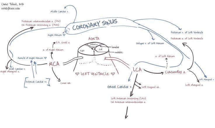 Coronary Vessels - Coronary circulation - Wikipedia