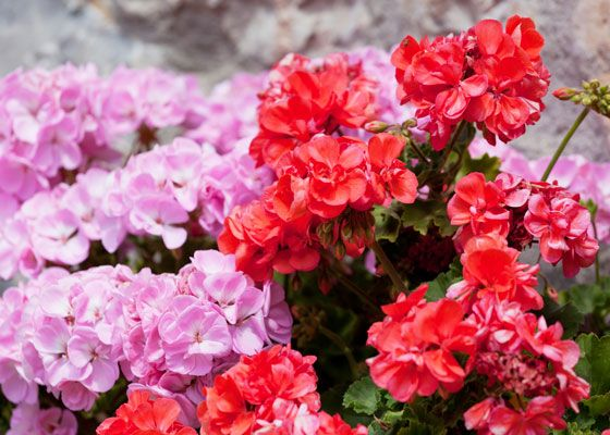 Need a splash of color to brighten up your garden? Red hot and pink geraniums are the perfect answer, according to The Home Depot. Learn more about why these flowers are a great choice for any gardener.