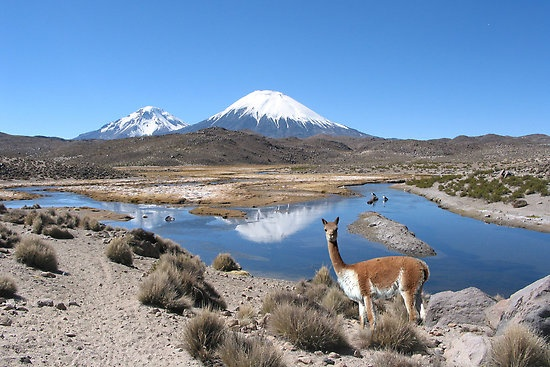 VICUNA - LAUCA NATIONAL PARK by Michael Sheridan (Chile)