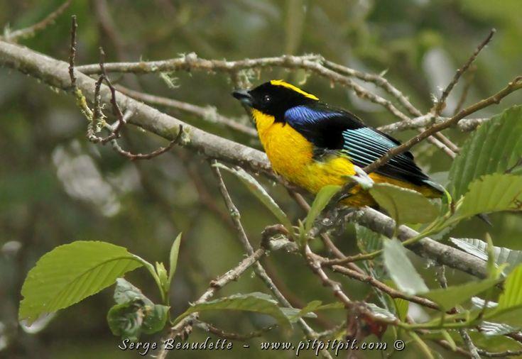 Plus de 1000 id es propos de oiseaux exotiques sur pinterest for Petit oiseau avec houpette