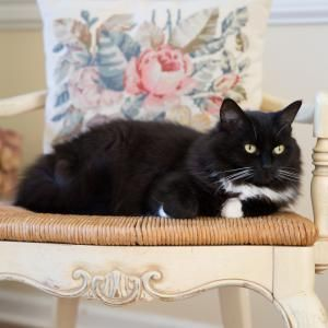 Everything You Need to Know About Tuxedo Cats: Tuxedo Cat on Chair