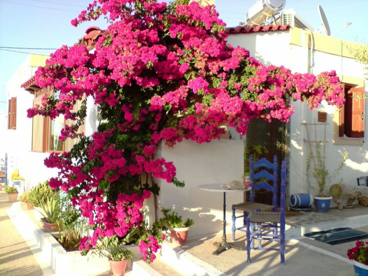 Lovely bouganvillia