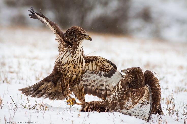 Common buzzard - Wildlife