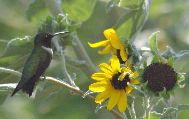 Hummingbird migration Texas 2011