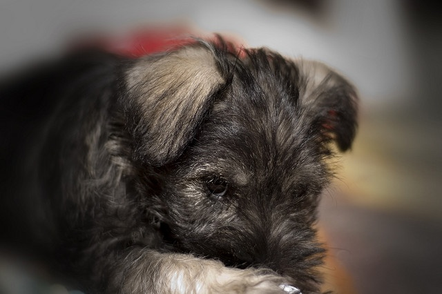mini schnauzer pup @Leah Miller and @Erika Funmaker and this looks like harman!