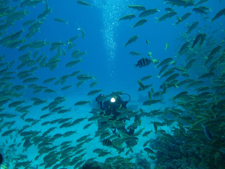 Lovely goat fish school in Red Sea