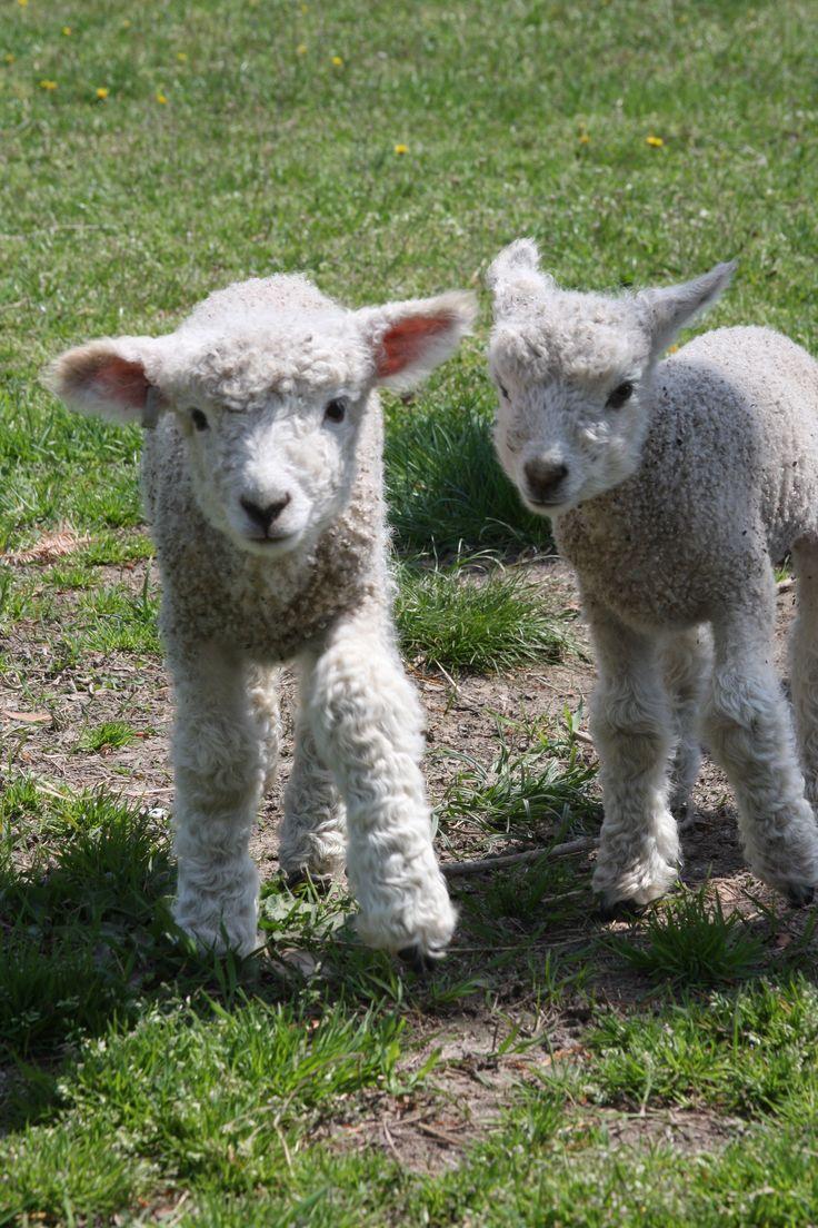 Two young friendsBaby Lamb, Awww Colonialwilliamsburg, Friends Colonialwilliamsburg, Colonialwilliamsburg Lambs