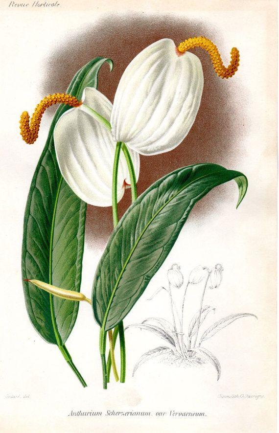 1883 Antique Botanical Print Anthurium by ...