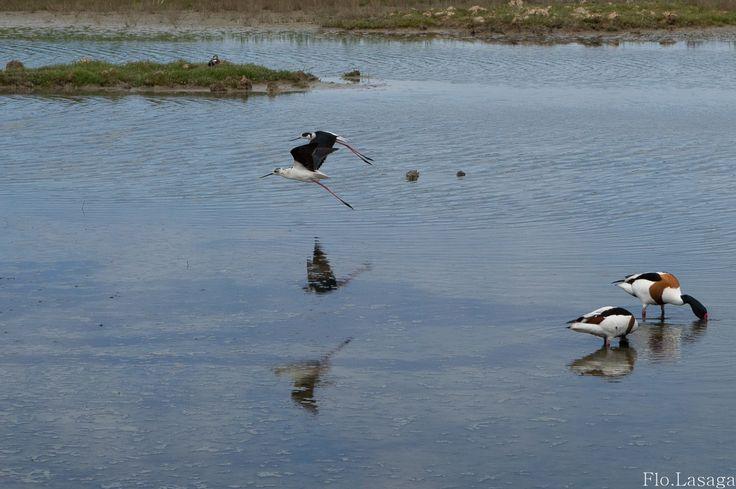 Réserve ornithologique du Teich. Bassin d'Arcachon (33)