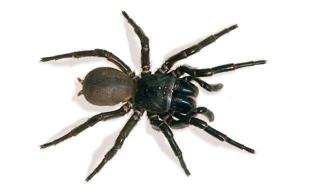 Number 7 on Australia's deadliest animals list - The Sydney Funnel Web Spider - With highly toxic venom produced in large amounts and large fangs to inject it, the Sydney funnel web is without a doubt the deadliest spider in Australia, and possibly the world - Its fangs are larger than a brown snake's and so powerful they can even pierce through finger/toe nails.