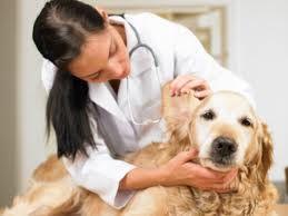 Assim como você precisa limpar o ouvido regularmente, você também deve manter as orelhas do seu cachorro limpas, prevenindo infecções e doenças auditivas. Como as orelhas são muito sensíveis, há cã...