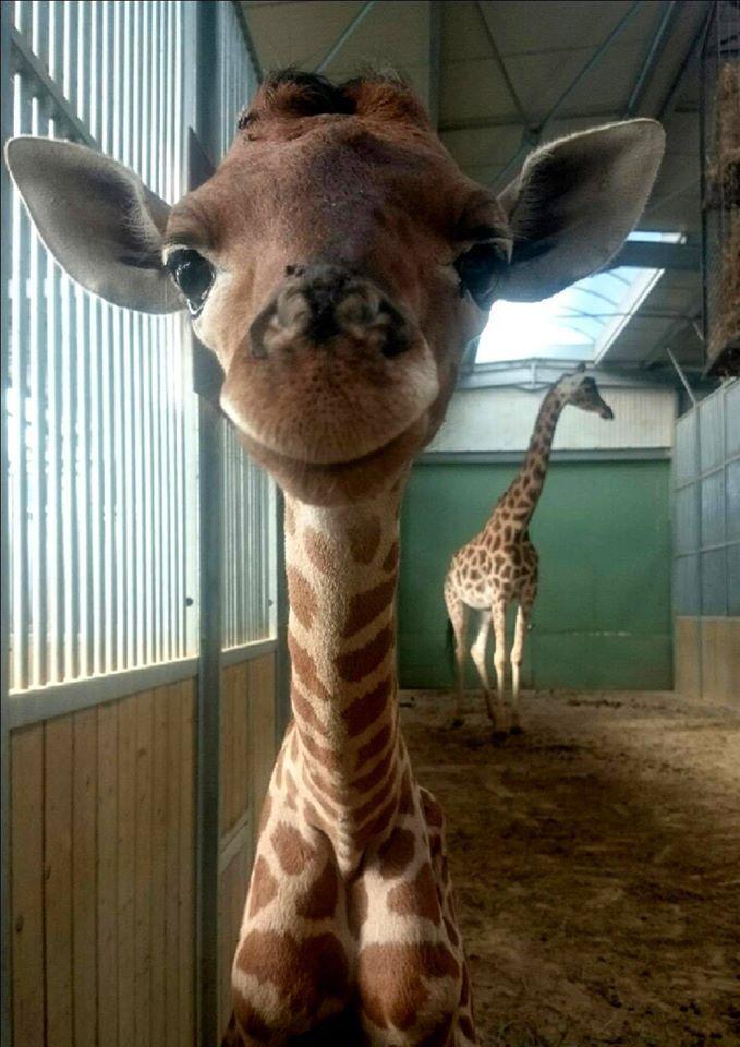 Un petit girafon de quelques jours aime sourire. Ce bébé girafe est né le 10 juillet 2016 dans le zoo Touroparc en Saône-et-Loire.