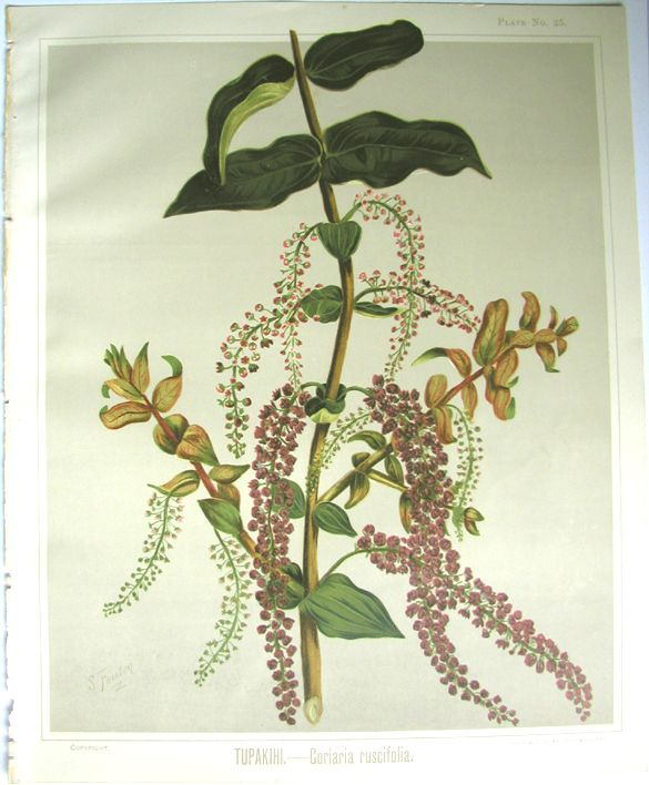 Sarah Featon, Tupakihi, (Tutu) - Sara FEATON Hand-coloured engravings from The Art Album of New Zealand Flora, 1889. It contained descriptions of the native flowering plants of New Zealand and the adjacent islands.