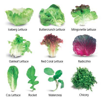 Image of lettuce varieties - Iceberg lettuce, buttercrunch lettuce, Mingonette lettuce, Oakleaf lettuce, Red Coral lettuce, Radiccihio, Chicory, watercress, rocket, Cos lettuce