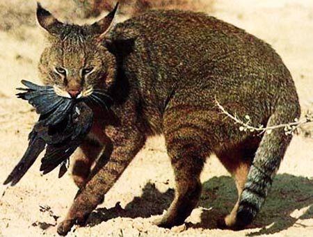 M s de 25 ideas incre bles sobre felis chaus en pinterest - Muebles los leones valencia ...