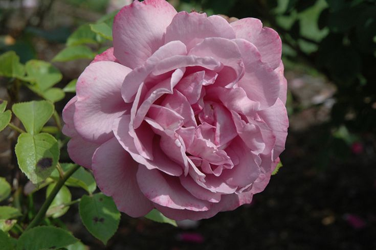 Strongly scented Heirloom Rose (Rosa 'Heirloom') at Gertens