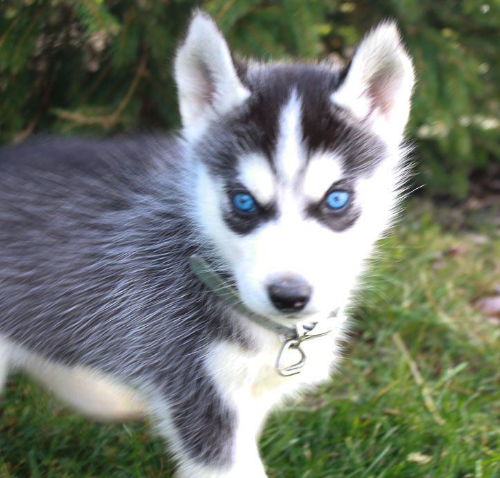 Dreamweaver Newpuppy Puppies Dog Breeds Medium Siberian Husky Dog