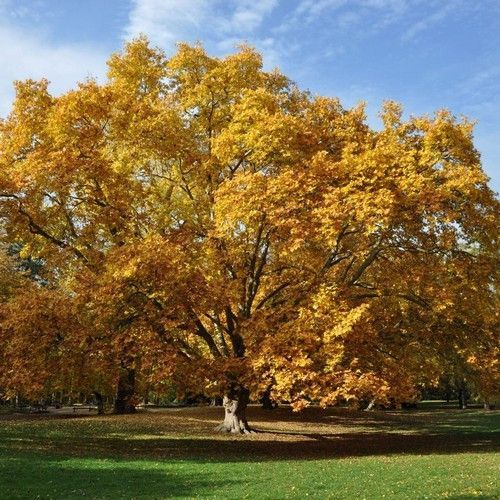 American Sycamore Tree Seeds | Under The Sun Seeds