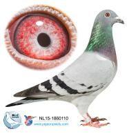 M&C Hansen - Racing Pigeons Online