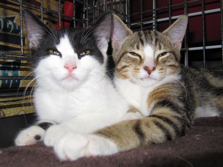 #Montreal people! Open your heart for FUDGIE (tux) and his golden tabby brother TOFFEE ~ Both our ice-cream kittens are looking for a forever home, maybe with you? Contact www.facebook.com/cause4paws #catrescue #adoption