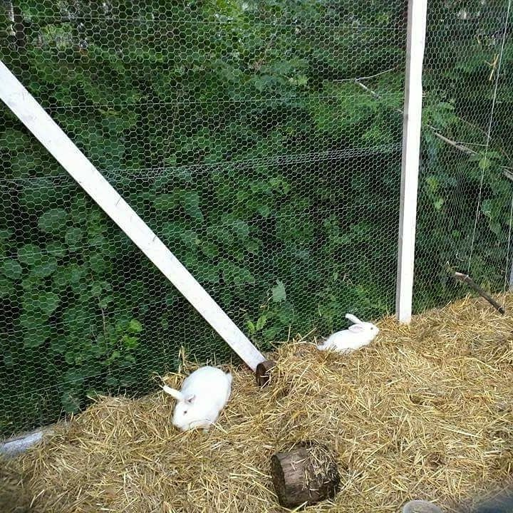 Raising Colony rabbits for meat