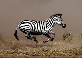 Zebras, Running and Google search on Pinterest