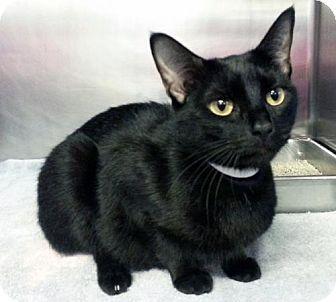 Westampton, NJ - Domestic Shorthair. Meet C-69704 Cleo, a cat for adoption. http://www.adoptapet.com/pet/15706899-westampton-new-jersey-cat