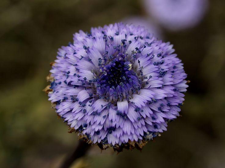 Foixarda - Coronilla de fraile (Globularia alypum) 6