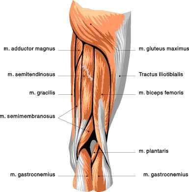 Upper Posterior Leg View: Gluteous Maximus, 3 Hamstrings ...