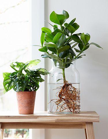 Neuester Trend: Anthurie im Wasser!: Für mehr Tipps zum Garten und Pflanzen schauen Sie auch auf Bakker.com