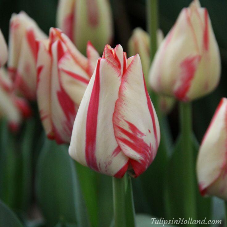 Tulip Spryng Break  #travel to the #tulipsinholland spring 2017