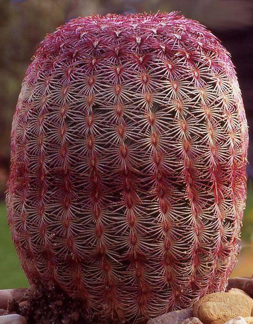 The Starfish Cactus (Echinocereus rubispinus)