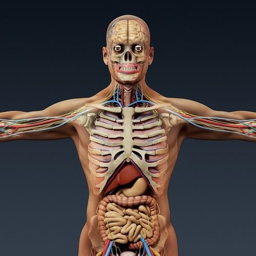 human male anatomy - body skeleton and internal organs 3d model, Skeleton
