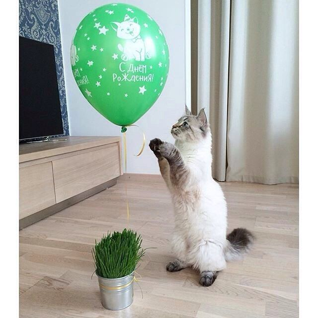С Днем рождения! / Happy Birthday! Автор фото @everyday_raisin Ставьте хэштег #фотопетшопру Ваш питомец в нашей ленте #petshop_ru #petshopru #петшопру #зоомагазин #кот #котэ #котик #котейка #мимими #животные #любимка #питомец #мяу #мур #adorable #cat #catsofinstagram #catlover #kitty #cats #animals by petshop_ru   www.petnook.in #petnook