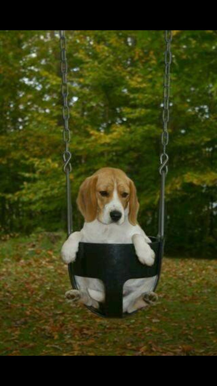 Beagle in a playground swing. I've put my Jack Russell Terrier in a swing like this and he loved it!