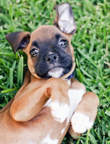 Hi, I'm Duke the boxer! I'm currently 8 weeks old and weigh 8 pounds. I love to romp around in the soft grass in my back yard, but I'm most relaxed whenever I'm cuddling with my mom and dad on the couch. I have a sister Leyna the cat, and we love to chase each other. Don't confuse our chasing with hatred, though, we are really best friends! My favorite toys are Mommy's shorts and Daddy's shoes, of course! I'm a lover and never meet a stranger!