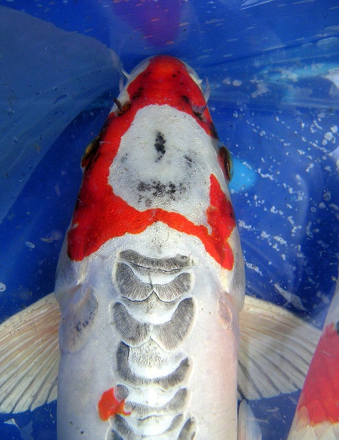 Koi nice markings koi pinterest nice photos and koi for Koi fish family