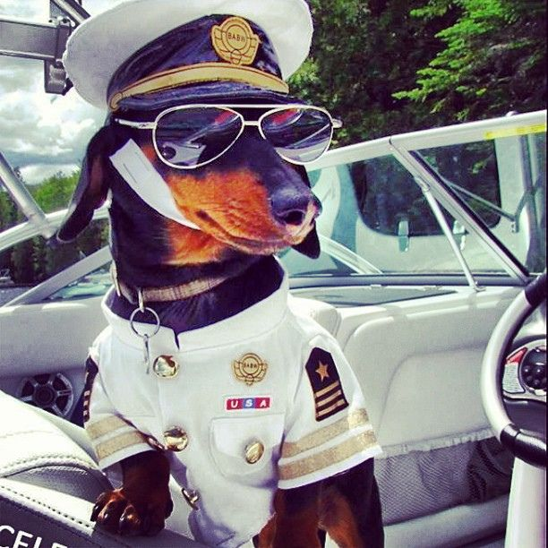 Captain Crusoe - with his nautical aviators. #dachshund #doxie #doxies #weenie #captain #swag #dachshunds #wienerdog #boating #crusoe #cool by Crusoe the Celebrity Dachshund, via Flickr