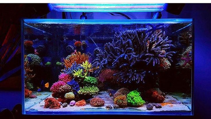 Follow @charlie_bel his tank is killer can grow monster SPS and he answers questions in his comments  #polyplab . Just go: www.polyplab.com . . #coral #reeftank #coralreeftank #reef #reefpack #reef2reef #reefcandy #reefersdaily #reefrEVOLution #coralreef #coraladdict #reefaholiks #reefjunkie #reeflife #instareef  #allmymoneygoestocoral #instareef  #reefpackworldwide #ilovemyreef #rarecorals #reefing #exoticcorals #reefporn #reeferdise #reefers4reefers #coralporn #aquarium #polyplab