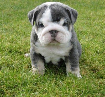 ::blue english bulldog, so cute.