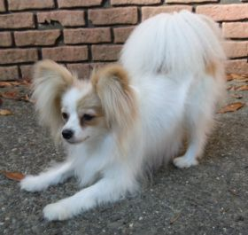 Skittles at Playful Papillons.  Skittles is a Lemon Sable and White Papillon