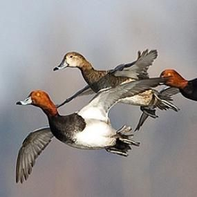 Counting North America's Waterfowl | BirdNote