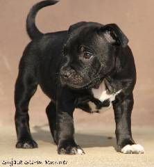 Black staffordshire bull terrier puppy with white chest