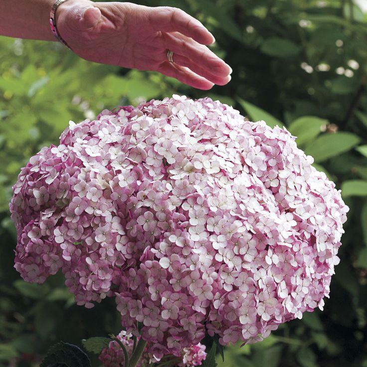 Hydrangea Incrediball Blush