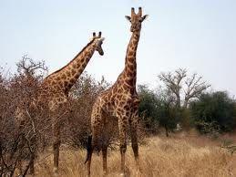 La jirafa (Giraffa camelopardalis) es una especie de mamífero artiodáctilo de la familia Giraffidae propio de África. Es la más alta de todas las especies vivientes de animales terrestres.