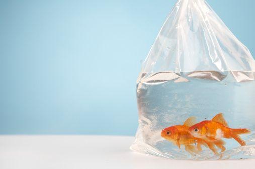 Votre courtier Royal LePage a trouvé une maison de rêve pour votre famille. L'achat est conclu et votre déménagement est prévu pour la fin avril. Mais...que ferez-vous pour déménager l'énorme aquarium des enfants sans perdre un seul poisson?