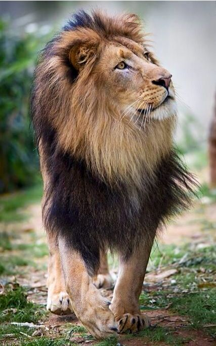 King Of The Jungle...Lion