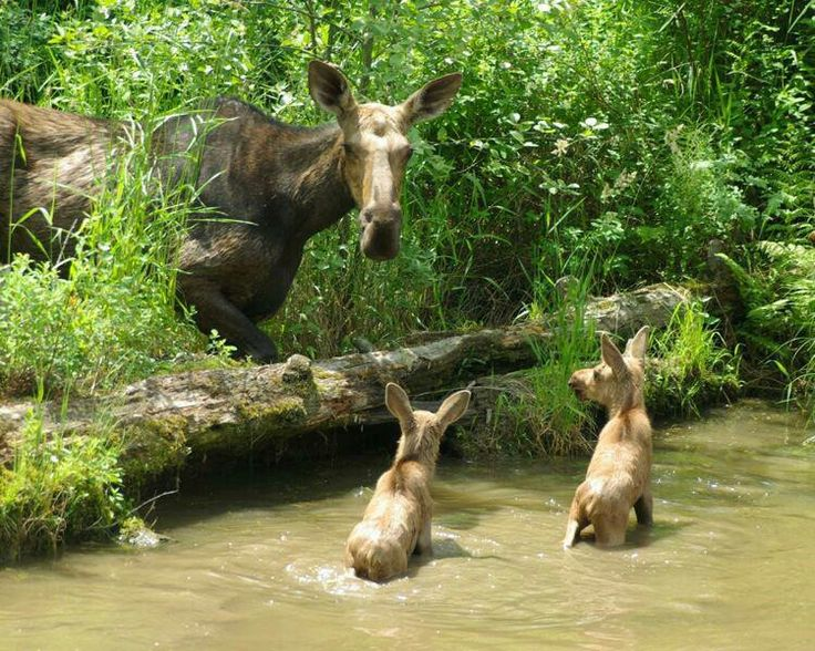 Moose - Moose typically inhabit boreal and mixed deciduous forests of the Northern Hemisphere in temperate to subarctic climates.